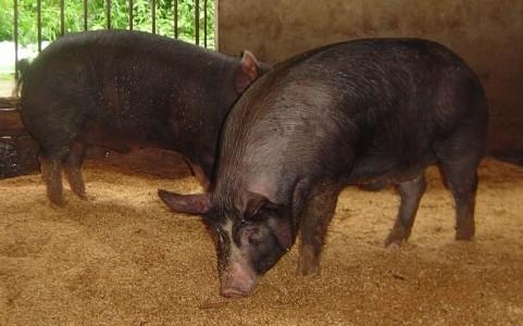 かごしま黒豚発祥の地の豚『鹿籠豚』