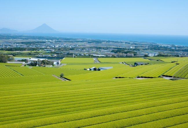 茶畑の風景:写真1
