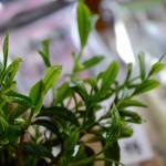 安全で美味しい お茶の厚石園:写真5