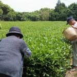 枕崎紅茶:写真2